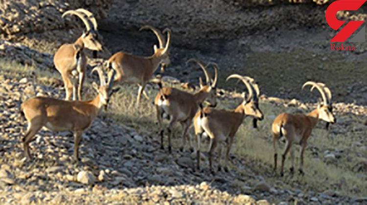 دستگیری دو متخلف شکار غیرمجاز در منطقه سبزکوه