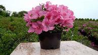 گل های بهاری که چیدمان خانه تان را زیباتر می کنند