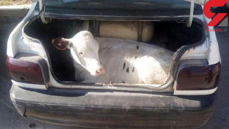 دزد 2 گوساله با پراید + عکس