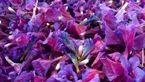 چای این گیاه خوشرنگ آرامبخش روح و جسم است