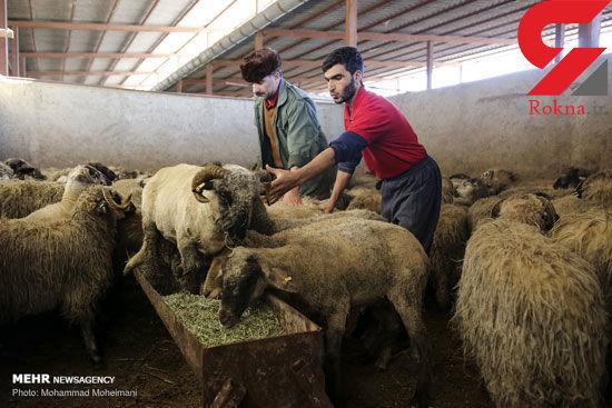 گوسفندان رومانیایی در تهران+عکس