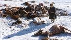 سرمای مرگبار جان صدها دام را در مغولستان گرفت