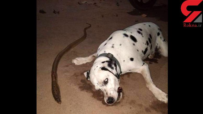 کشته شدن سگ برای نجات اعضای خانواده + عکس