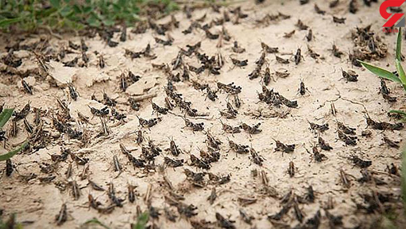 ورود پراکنده دستههای ملخ صحرایی به مناطق جنوبی خوزستان