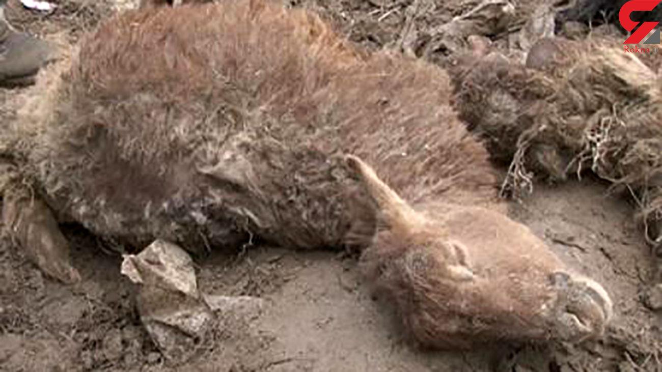 آماده باش پلیس بخاطر حمله گرگ ها در طالقان + علت