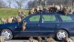 میمون هایی که یک بنز را غارت کردند + عکس