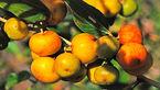 درمان یبوست با میوه درخت سدر