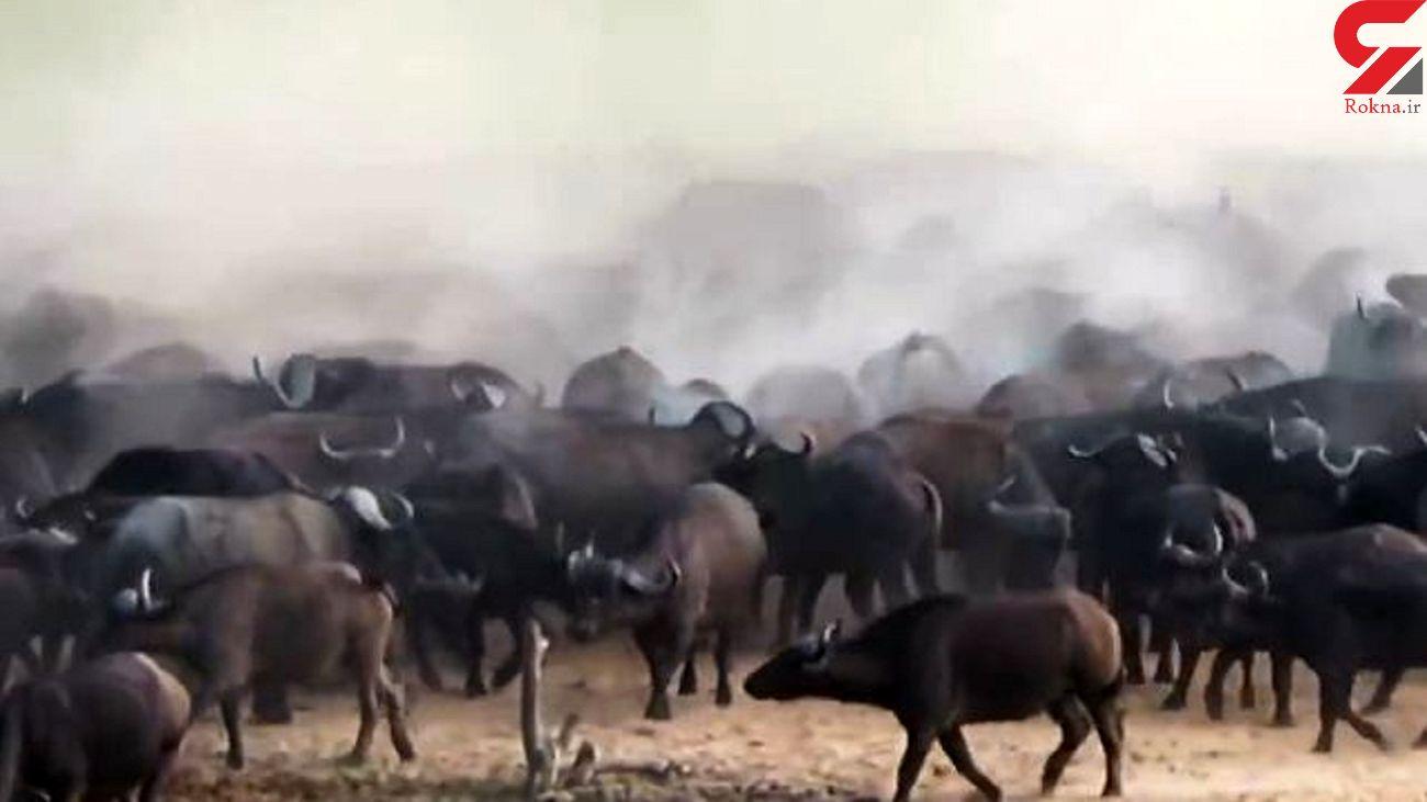 شکار شدن شیر این بار توسط  گاومیش ها + فیلم جسد
