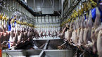 مهلت دادستان به کشتارگاههای مرغ و دام برای ایجاد سردخانه در رامهرمز