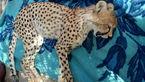 آخرین خبر از بچه یوزپلنگ  زخمی + عکس تلخ