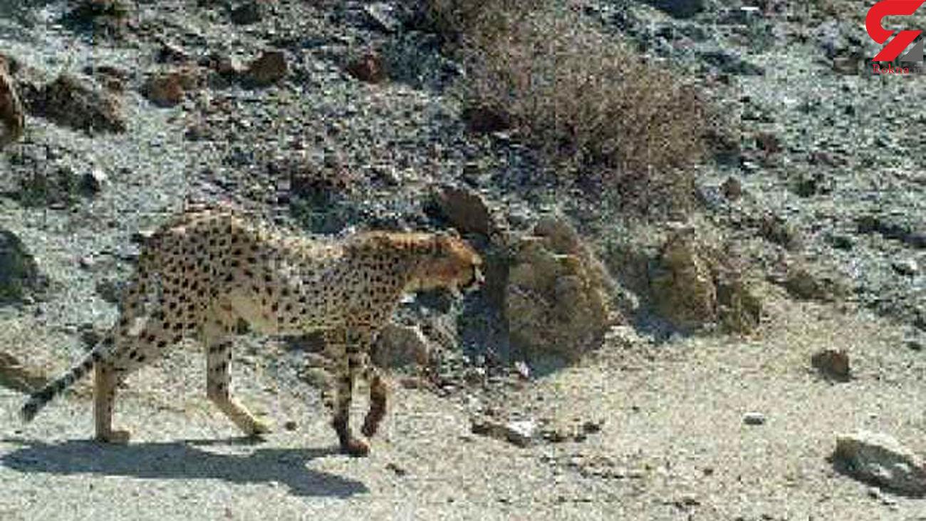 مشاهده دو یوزپلنگ ایرانی در طبس + عکس
