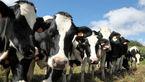گاوها به کمک درمان ایدز  میآیند