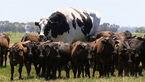 عجیب ترین عکس از یک گاو غول پیکر بین گاوهای کوچک! + جزییات