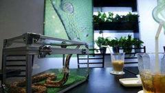 نوشیدن قهوه در کنار مارهای سمی در این کافه دل شیر می خواهد+عکس