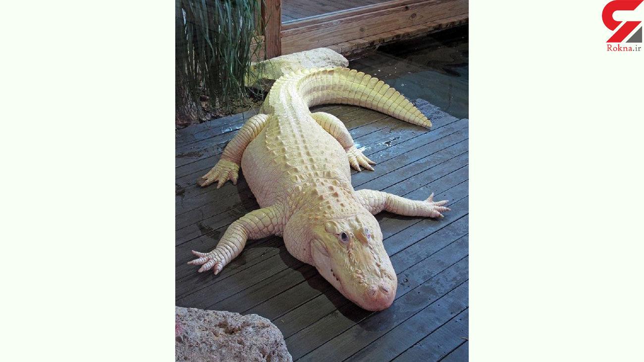 تمساح سفید پوست دیده اید؟ + عکس