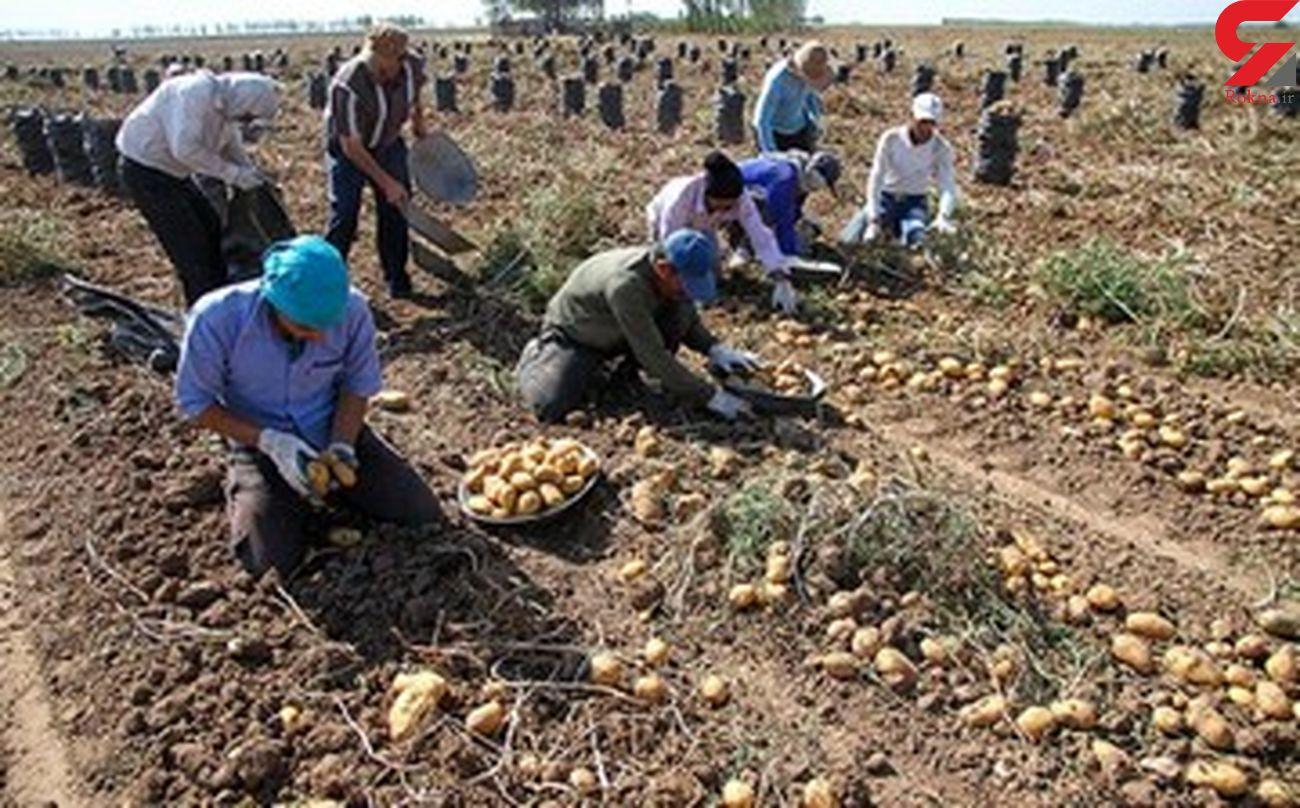 کاشت محصولات استراتژیک جایگزین کشت سیب زمینی در شهرستان دلفان