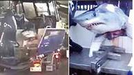 رانندگی مرد ماهیگیر با کوسه غول پیکر در اتوبان خبرساز شد+عکس