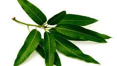 این گیاه در درمان دیابت معجزه می کند