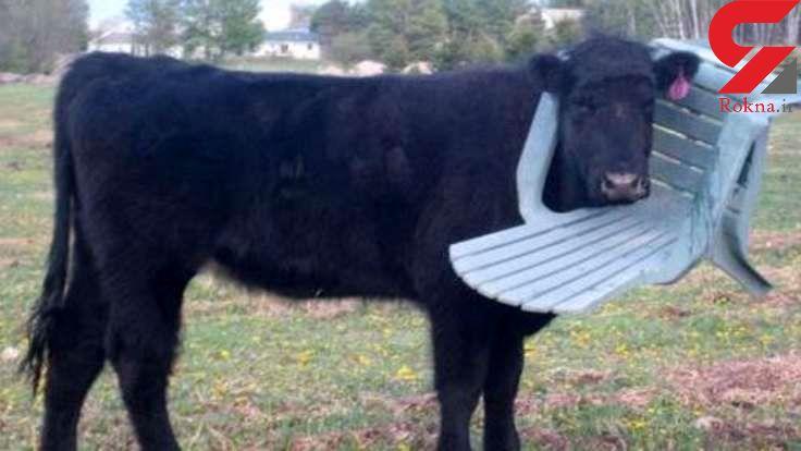 گاو فضول!