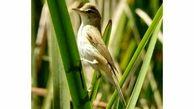 یک گونه کمیاب پرنده در تالاب گندمان مشاهده شد + عکس