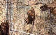 مشاهده 3 کانون آنفلوآنزای فوق حاد پرندگان در کرمانشاه