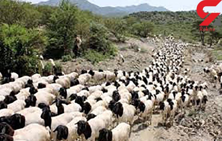 ربایندگان 200 گوسفند دستگیر شدند