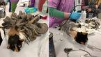 رشد عجیب موهای پشمالوترین گربه +تصاویر