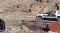 فیلم لحظه حمله یوزپلنگ به یک محیط بان + عکس
