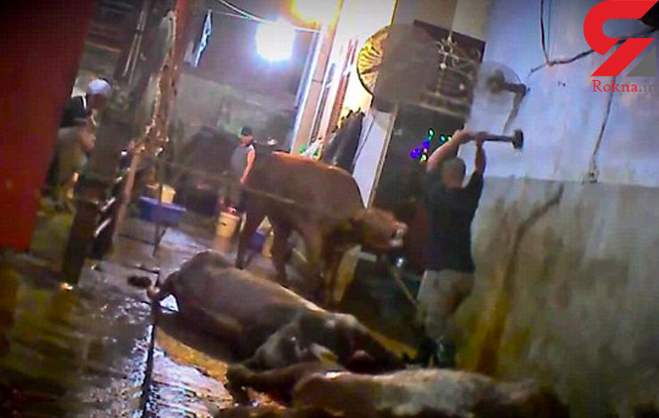 کُشتار وحشیانه گاو ها با پتک های سنگین (مستند های ویژه)