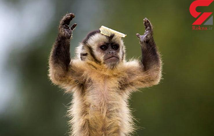 تشکر یک میمون