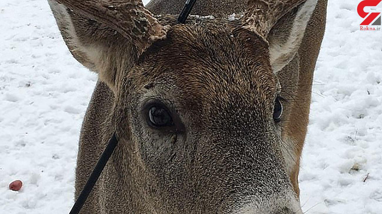 عجیب ترین گوزن کانادا در کریسمس / تیری به سر دارد