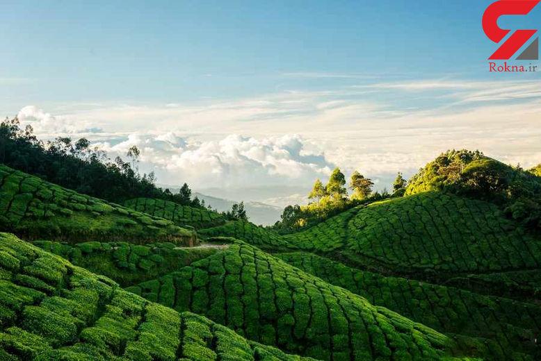 صادرات چاى ترکیه به 93 کشور