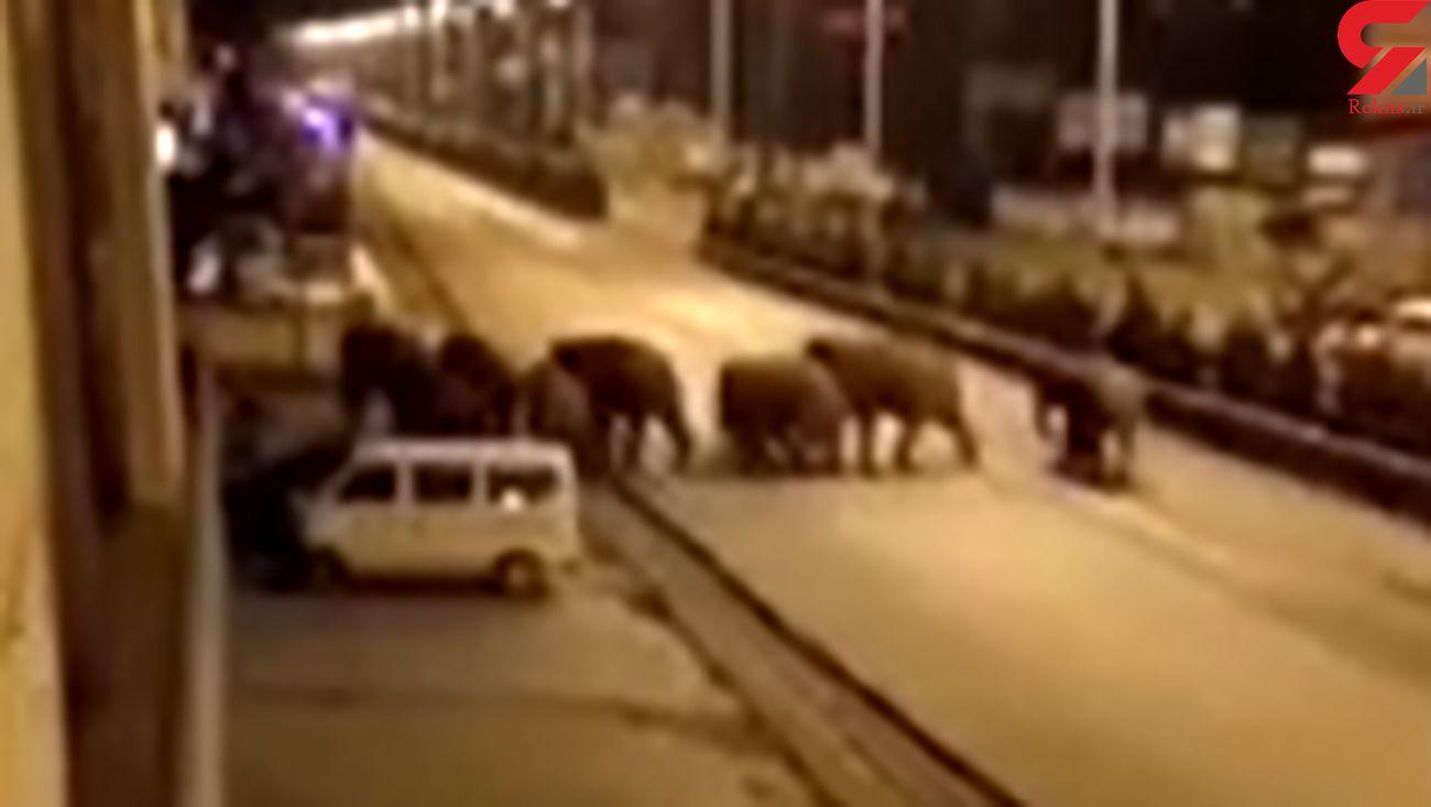 وحشت از حمله فیل ها به خیابان های چین + عکس