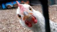 مرغداران هیچ نقشی در قیمت گذاری ندارند + قیمت جدید مرغ