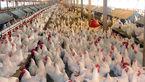 2 برادر سلطان مرغ بودند / بازداشت با 12 تن مرغ قاچاق در اردبیل