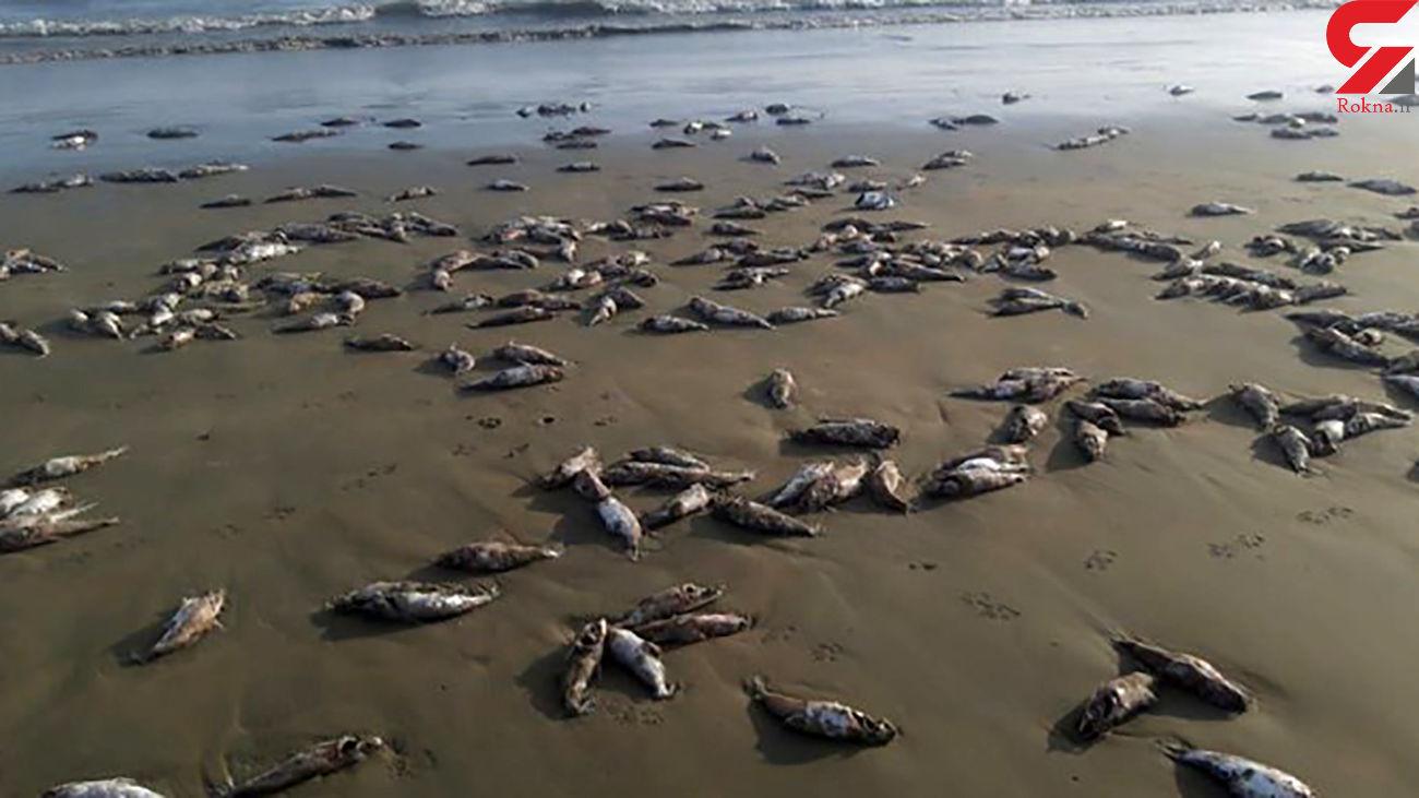 اعلام علت مرگ گربه ماهیان در ساحل جاسک  از سوی سازمان دامپزشکی