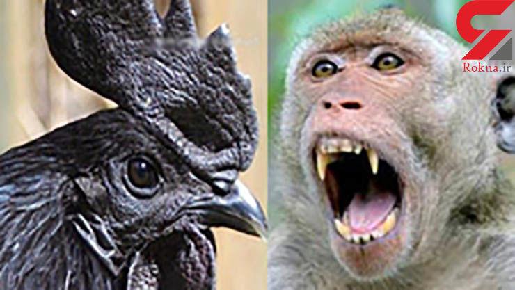 جزییات اعدام حیوانات/ از سوزاندن خروس شیطانی تا کشتن میمون جاسوس!