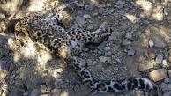 عکس لاشه پلنگ ایرانی در خاییز + علت مرگ و عکس