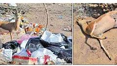 زباله توریستها، آهوان جزیره سرخ را خفه کرد