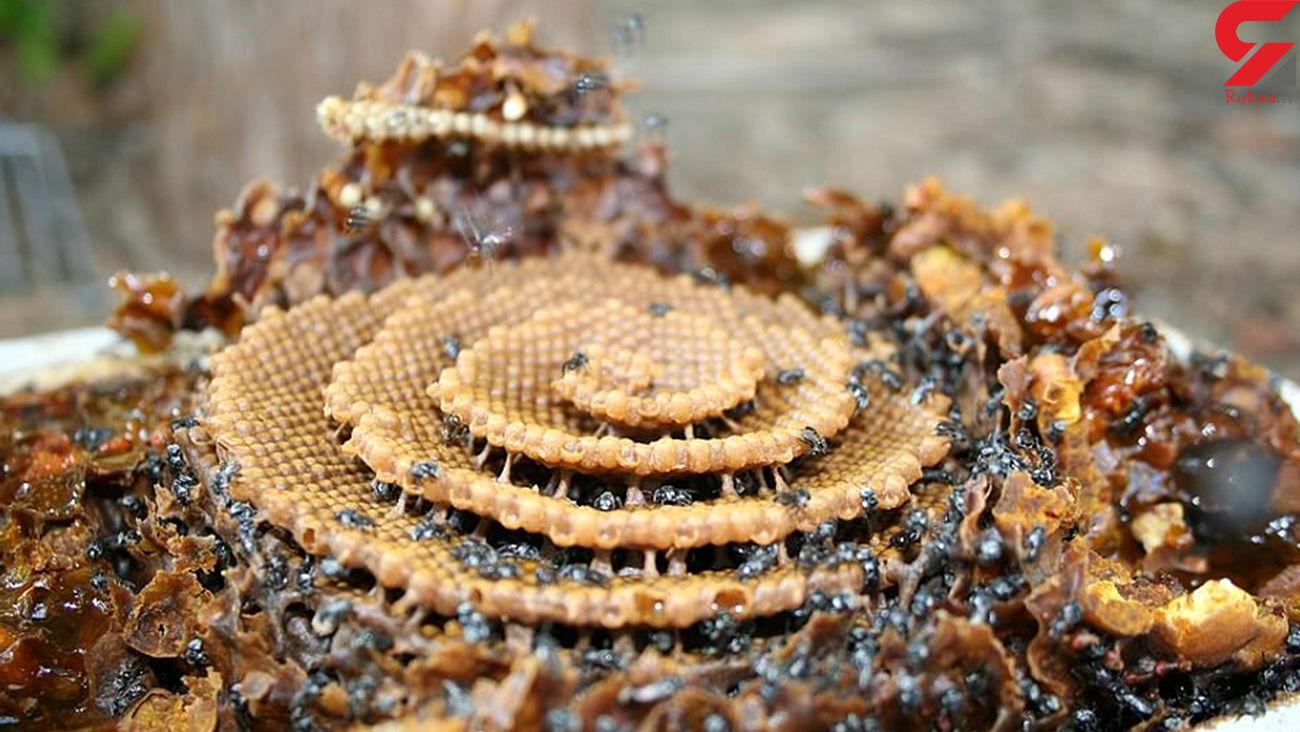 تصاویر خیرهکننده کندوهای مارپیچ گونهای از زنبور عسل