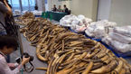 کشف و ضبط ۲۷۷ کیلو گرم دندان فیل