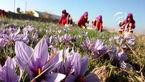 88 درصد از زعفران جهان در ایران تولید میشود