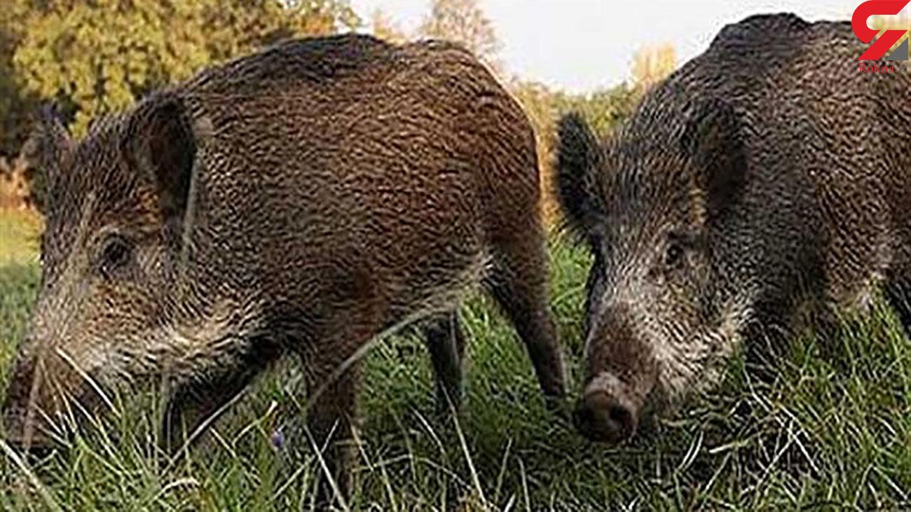 گرازهای وحشی به کشاورزی خلخال خسارت زدند