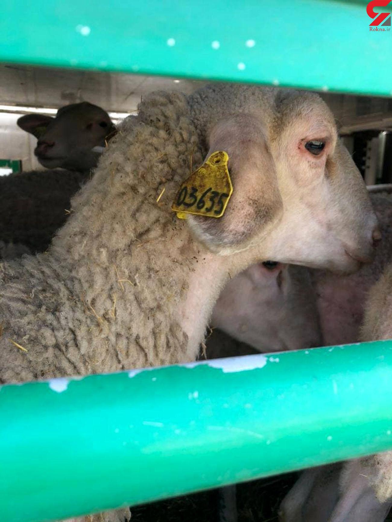 فیلم اسارت گوسفندان در گمرک آستارا / مرگ در یک قدمی شان