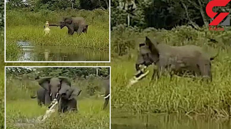 مبارزه مرگ و زندگی بچه فیل با تمساح +عکس