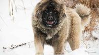 گرگاس ها برخلاف گرگ ها به انسان حمله می کنند!/وحشت در خراسان رضوی+ عکس این حیوان هولناک