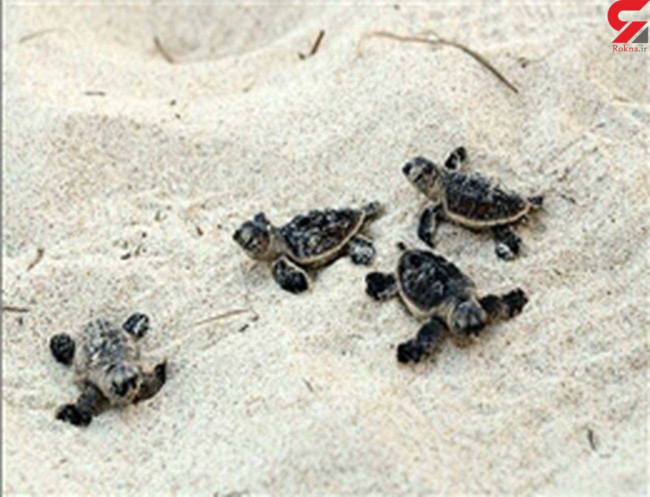 ۲۰۰ بچه لاکپشت پوزه عقابی راهی خلیج فارس شدند