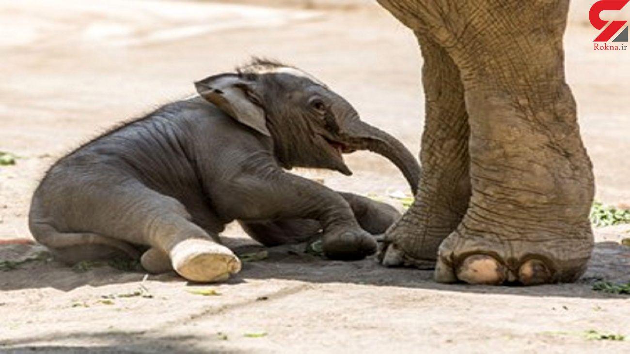 زایمان یک فیل در باغ وحش ارم + تصاویر