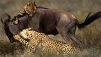 شکار دیدنی گوزن یالدار توسط چند یوزپلنگ + فیلم