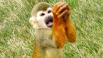 التماس های دیدنی یک میمون برای رفع گرسنگی+ تصاویر